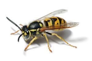 Oft ungebetener Gast: Die deutsche Wespe
